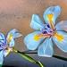 Indigenous Iris