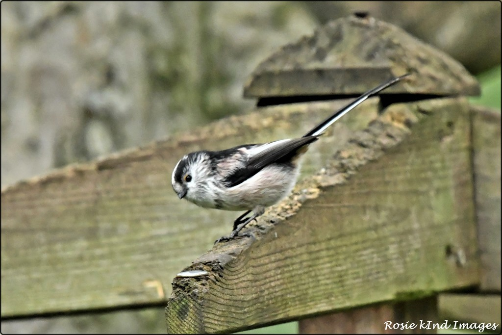 RK3_3264  Long tailed tit by rosiekind