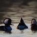 three male hooded mergansers