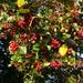 Blue sky & red berries!