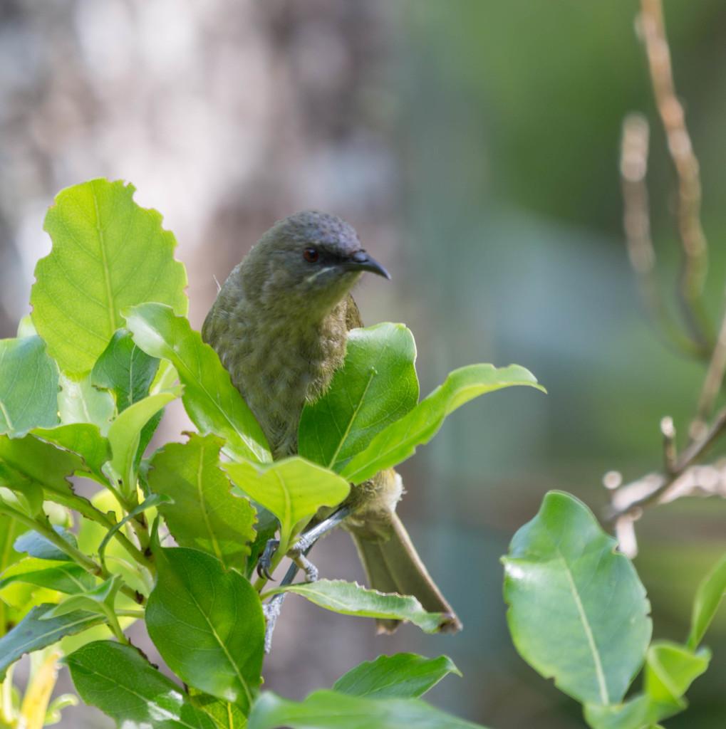 New Zealand Bellbird  by creative_shots
