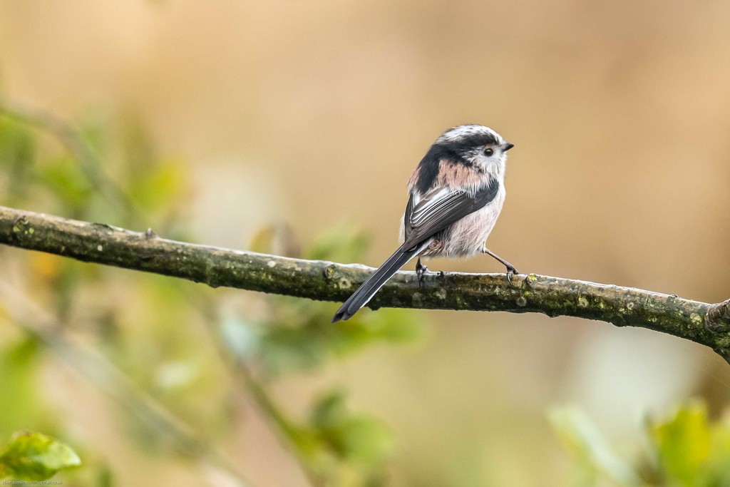 Long-tailed Tit taking a moment to pose by padlock