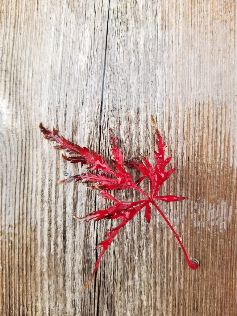 Rainy Fall Leaf by kimmer50