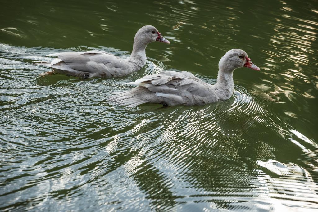 Duck Duo by kvphoto