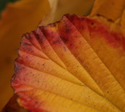 16th Oct 2019 - Witch hazel leaves
