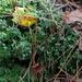 Green cup moss or Cladonia fimbriata