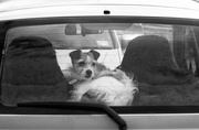 5th Oct 2019 - dogs in cars