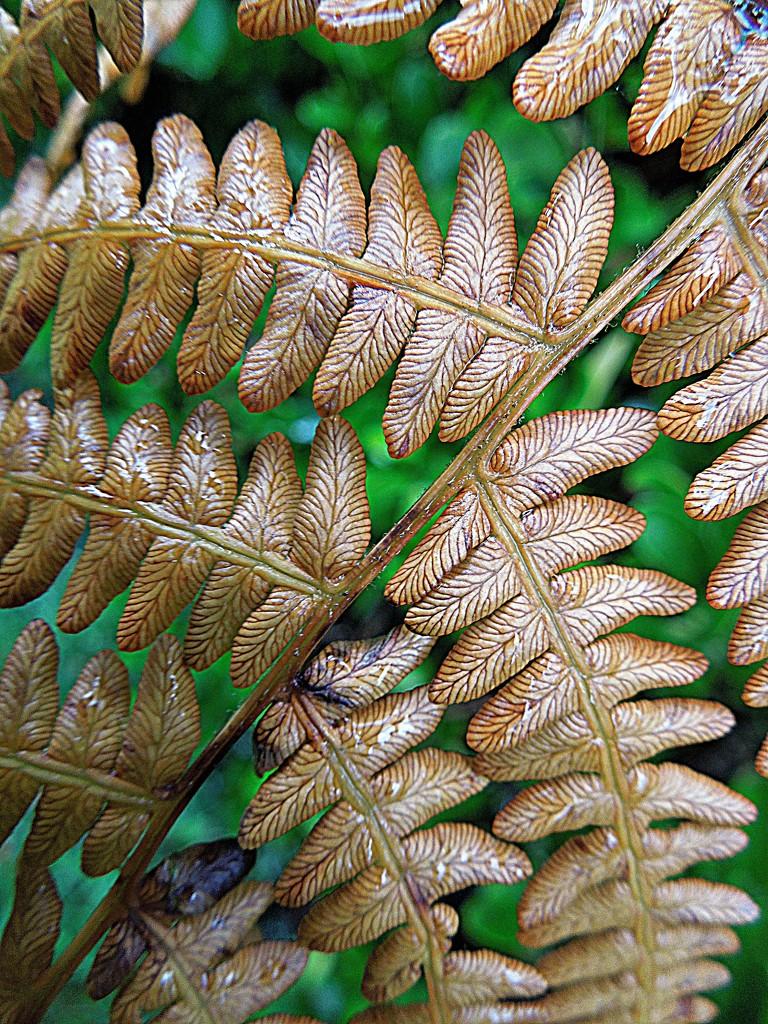 Dried fern by etienne