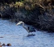 22nd Oct 2019 - Heron fishing