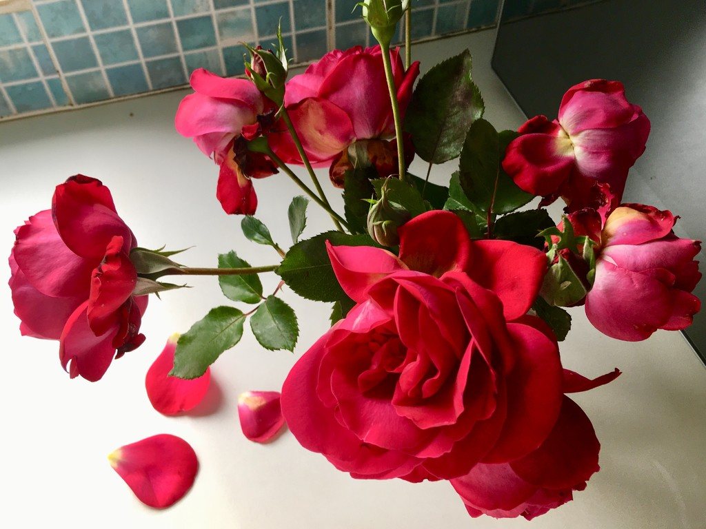 Last Roses of Summer.. by moominmomma