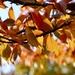 Autumn Cherry Tree