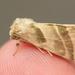 Three-lined Flower Moth