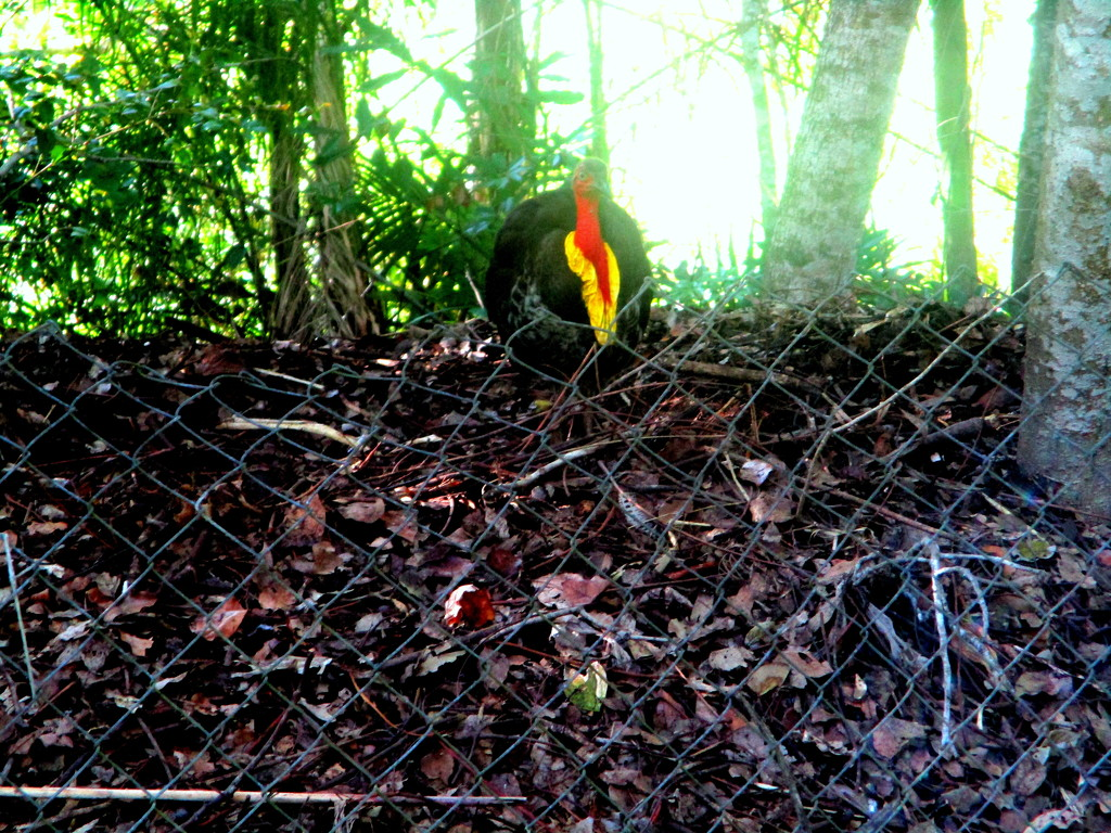 Bush Turkey guarding his nest, just over the fence from me by 777margo