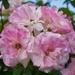 Spring Flowers DSC_3934