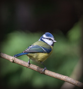 23rd Oct 2019 - Just A Blue Tit