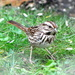Song sparrow looking for hand outs !!!