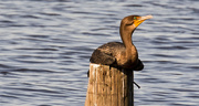 23rd Oct 2019 - Cormorant Resting on the Piling!