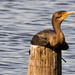 Cormorant Resting on the Piling!