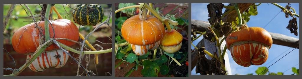 orange squash by quietpurplehaze