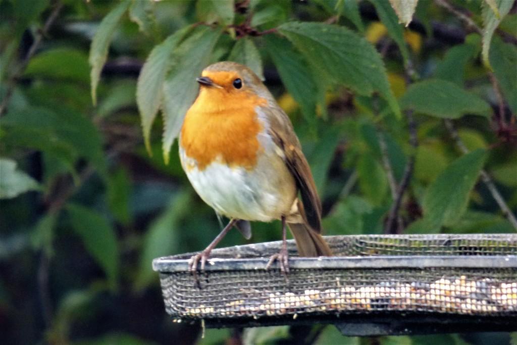 My little Robin  by beryl