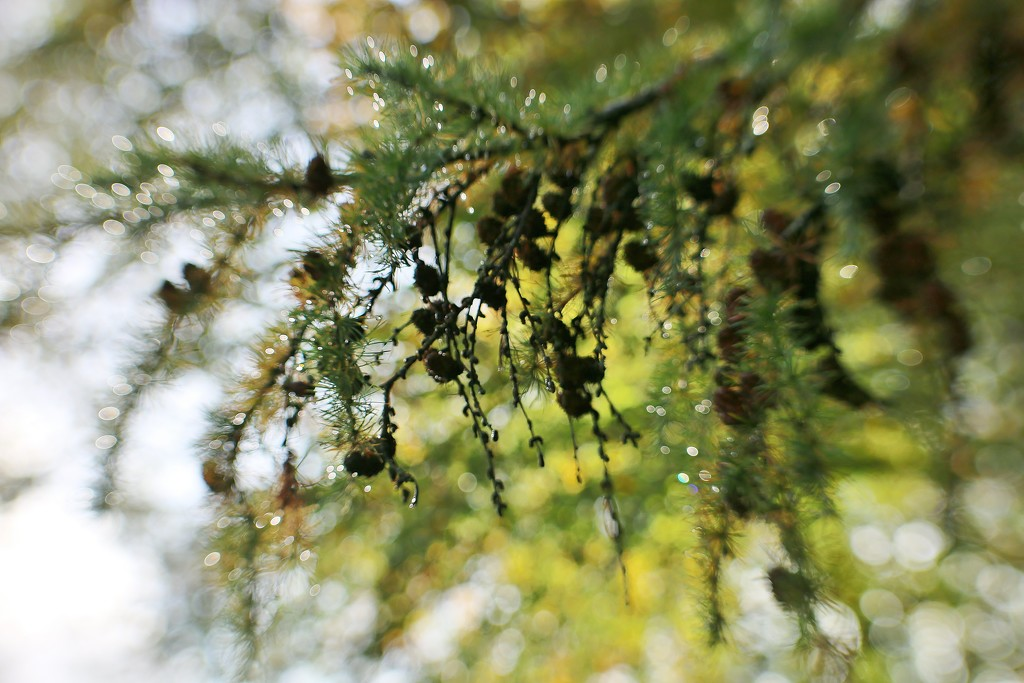 Sparkly Larch by motherjane