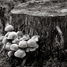 Tree Stump and Fungi by vignouse