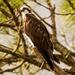 Osprey in the Neighborhood! by rickster549