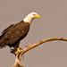 Bald Eagle at the Osprey Nest! by rickster549