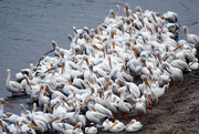 23rd Oct 2019 - Pelican Huddle