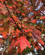24th Oct 2019 - Bright Leaves