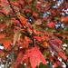 Bright Leaves by homeschoolmom