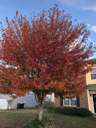 24th Oct 2019 - Autumn has arrived at my house!