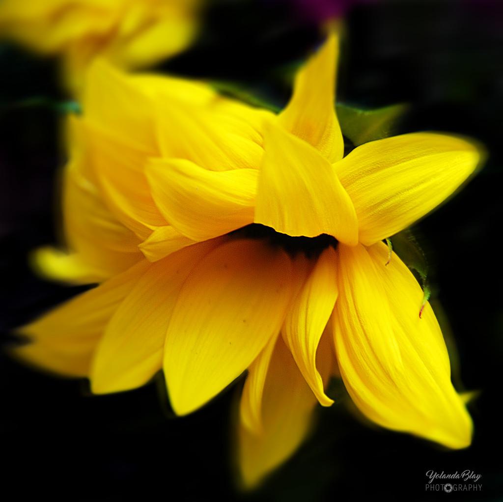 Sunflower by yolanda