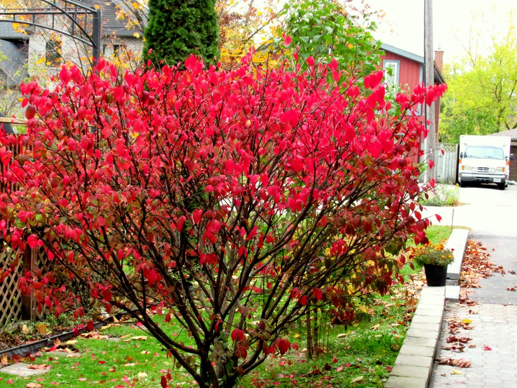 Our burning bush along the walkway by bruni