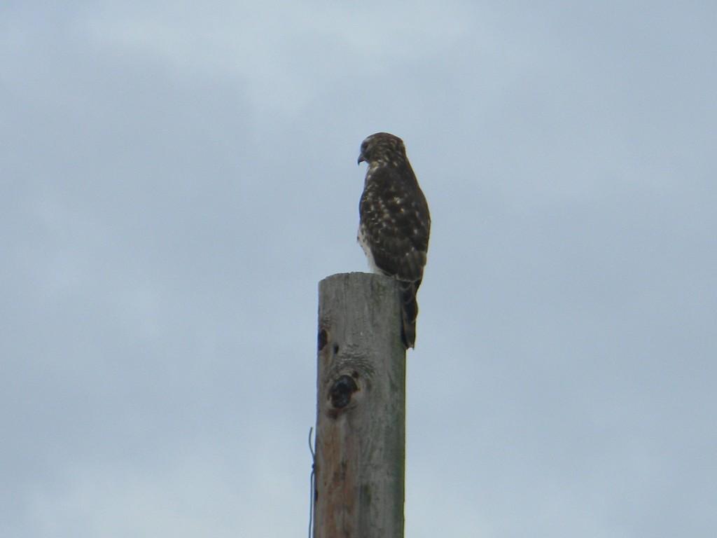 Hawk Sitting on Pole by sfeldphotos