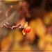 Autumn's Bittesweet Blaze by olivetreeann