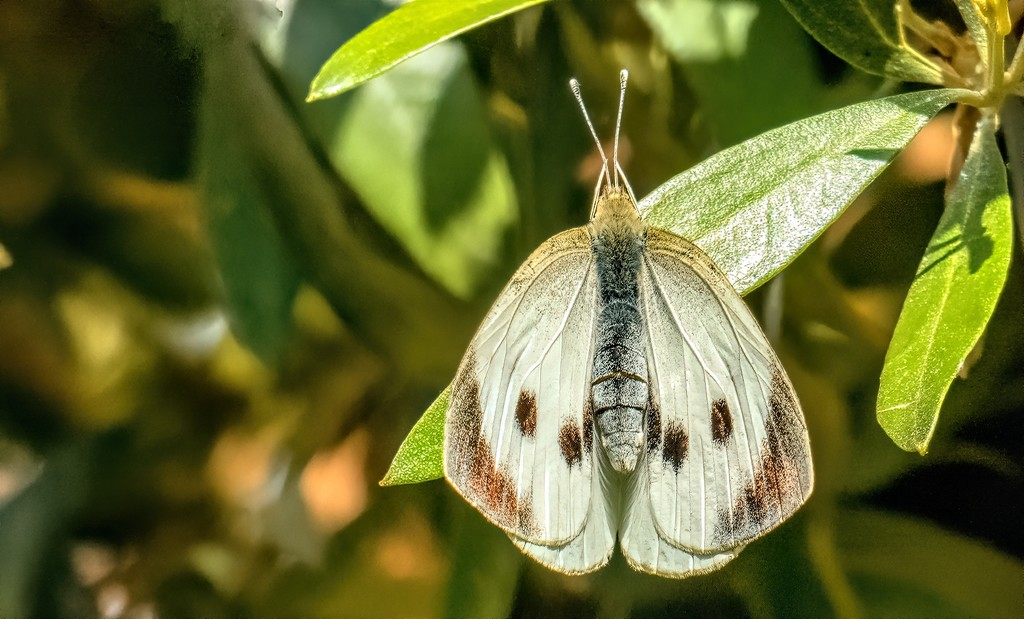 White Butterfly by ludwigsdiana
