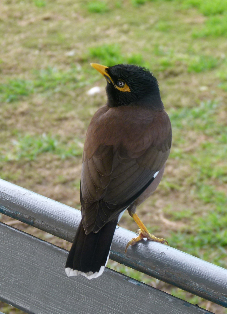 Indian Myna by onewing