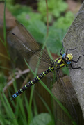 26th Oct 2019 - Dragonfly