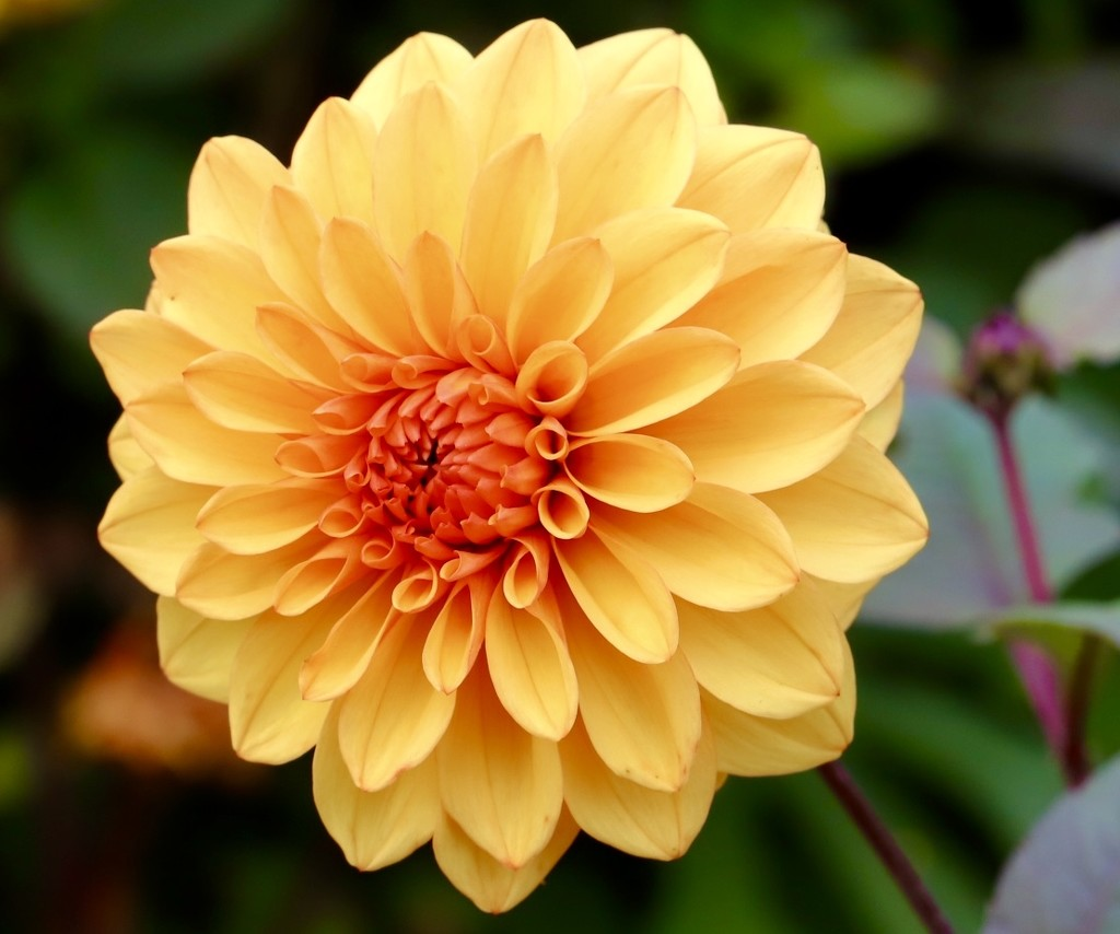 Another Garden, Another Dahlia by carole_sandford