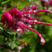 Water drops on Grevillea