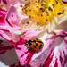 Coccinella transveralis on rose