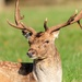 Fallow Stag-Holkham Hall