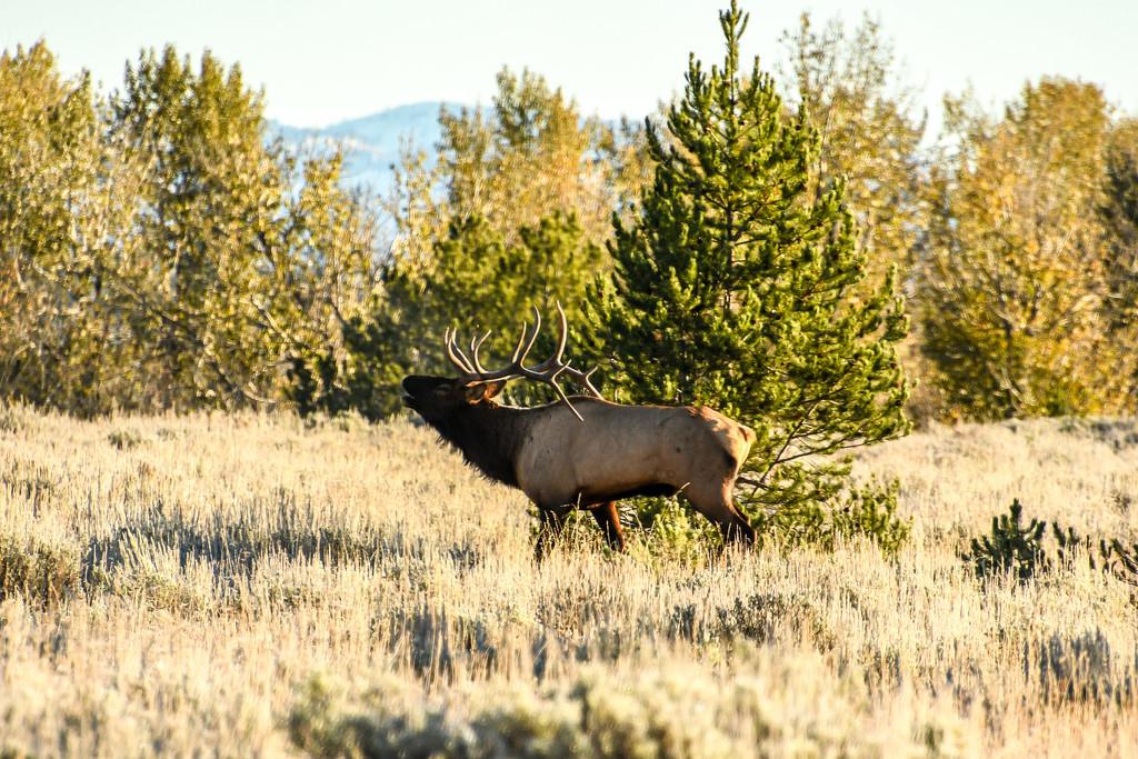 Elk by danette