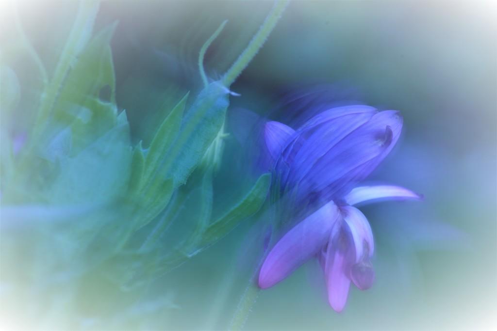 African daisy....... by ziggy77