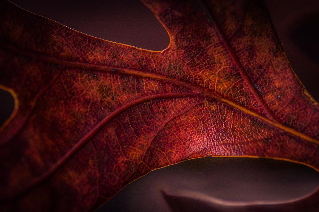 Leathery Leaf by mzzhope
