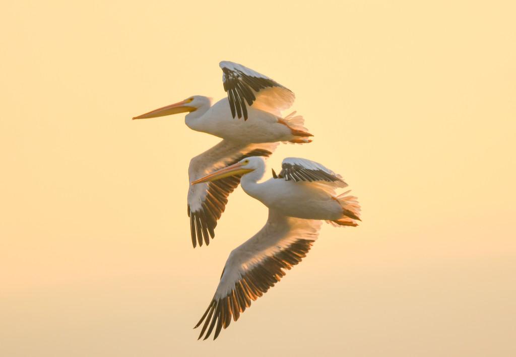 Two Pelicans in Flight by kareenking