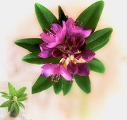28th Oct 2019 - A free rhododendron