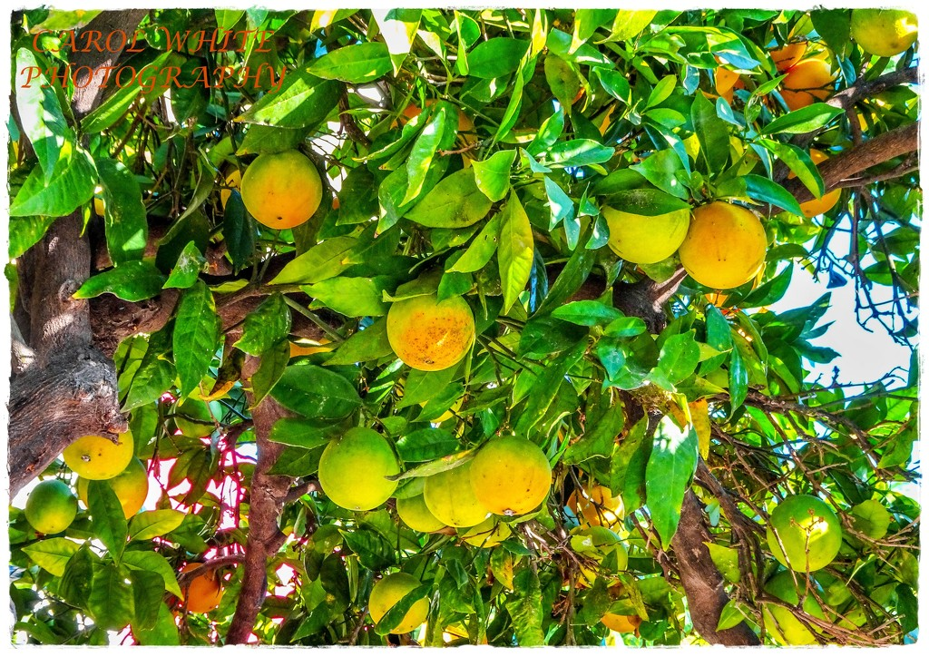 Ripening Oranges by carolmw