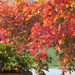Our crimson maple is changing colours by bruni